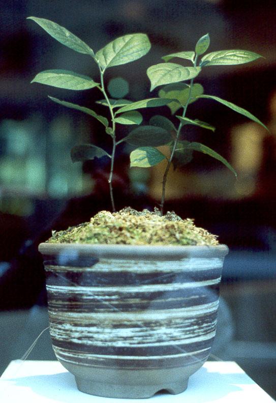 展示された被爆柿の木二世