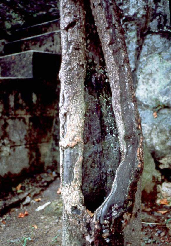 被爆した柿の木