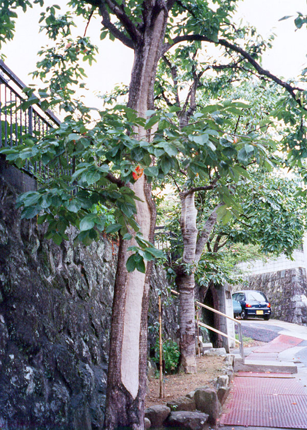 回復した柿の木(1996年)